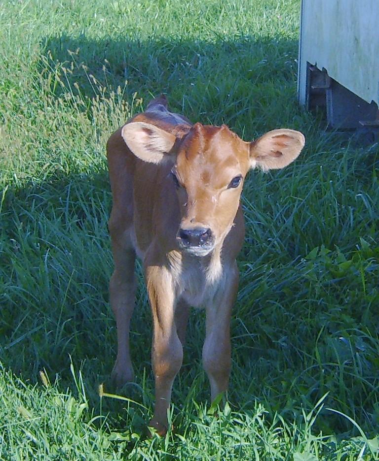 Happy baby cow!