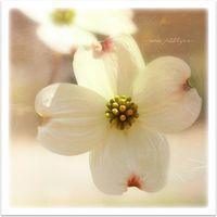 Cora-flower